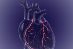 Transparent heart circulation