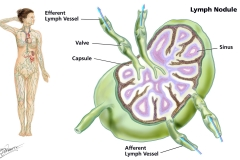 Lymph nodes anatomy