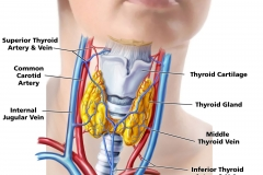 ThyroidGland